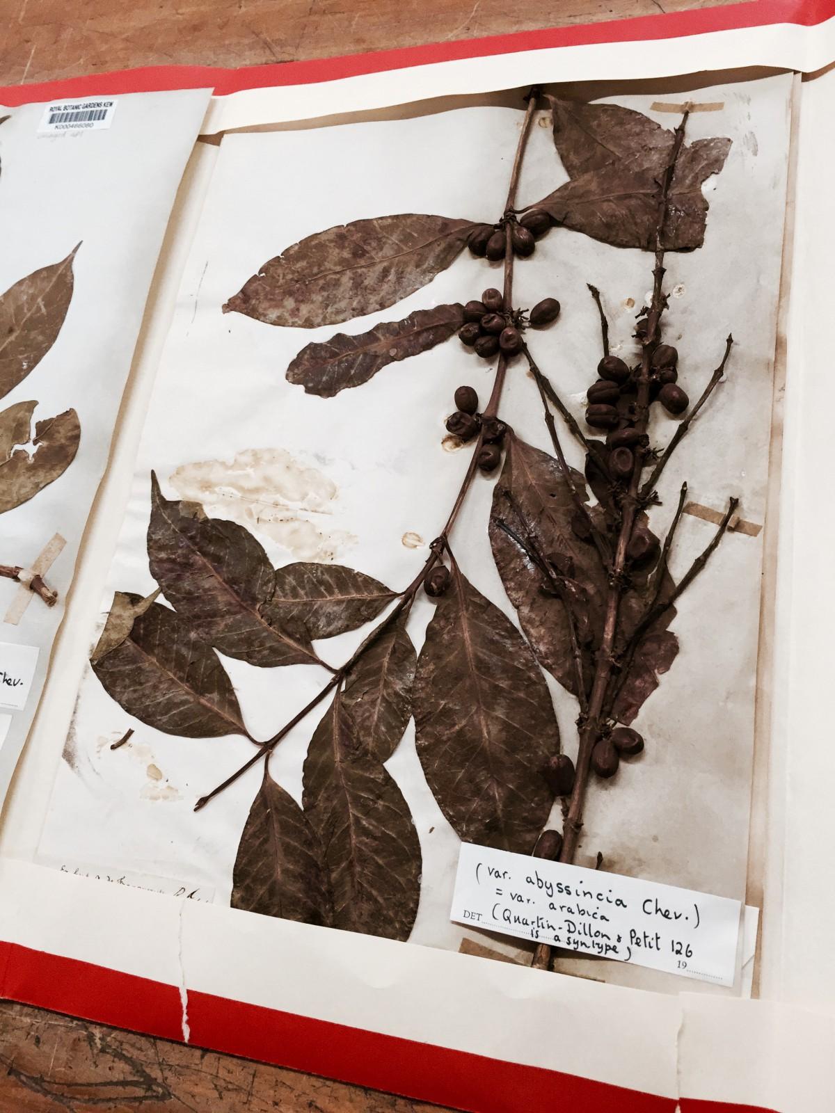 Kew Gardens - Herbarium - Arabica Specimen