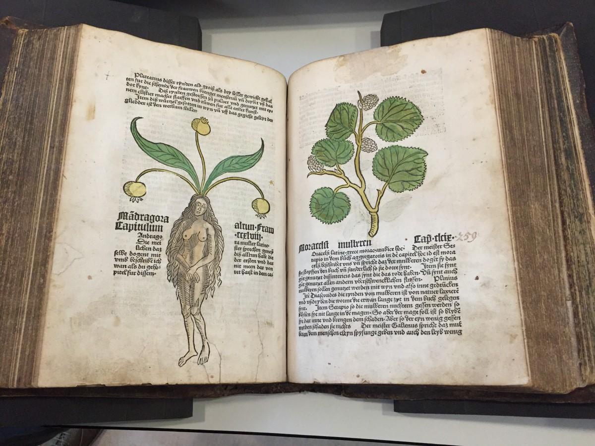 Kew Gardens - Ortus Sanitus 1485 - Mandrake Plant